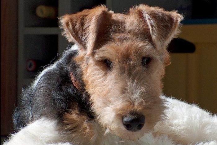 Races de chiens:  Fox-terrier