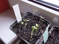 Les semis du SOL