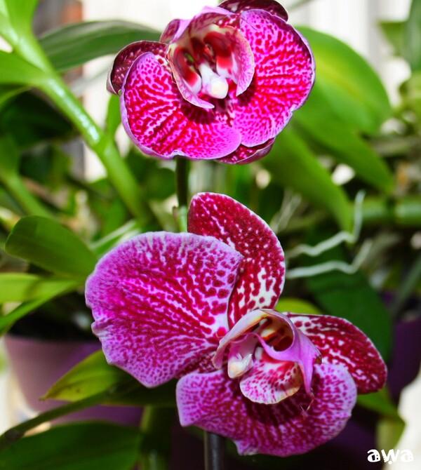 Naissance d'une Orchidée