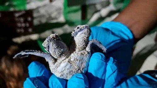 Malaisie: Naissance d'un bébé tortue à deux têtes au large de Bornéo