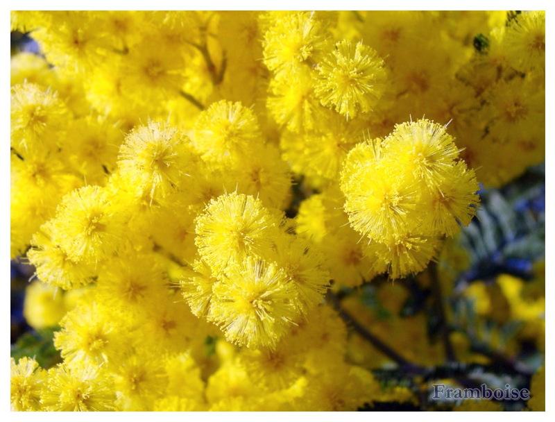 Le Mimosa en fleurs à Pornic