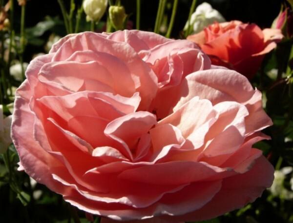 rosier-martin-des-senteurs---rose-epanouie---mai-2014.jpg