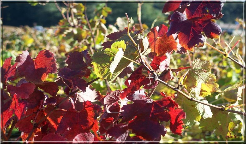 Aux couleurs de la vigne ...