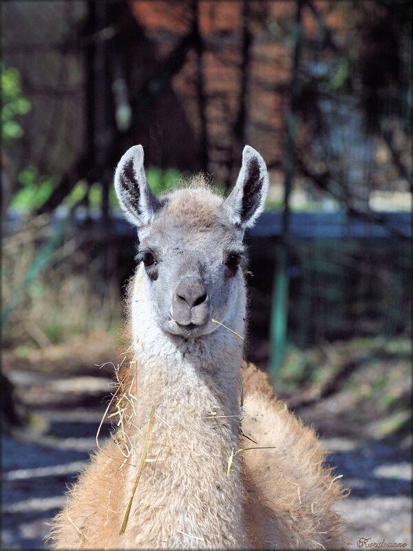 Photo de guanaco du zoo de Bordeaux-Pessac