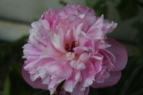 Coup de coeur la naissance d'une fleur de pivoine