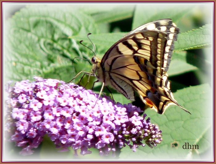 La vie éphémère du papillon