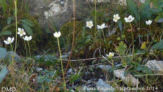 Parnassia palustris  -  parnassie des marais