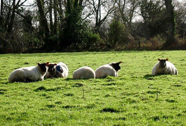 moutons1.jpg