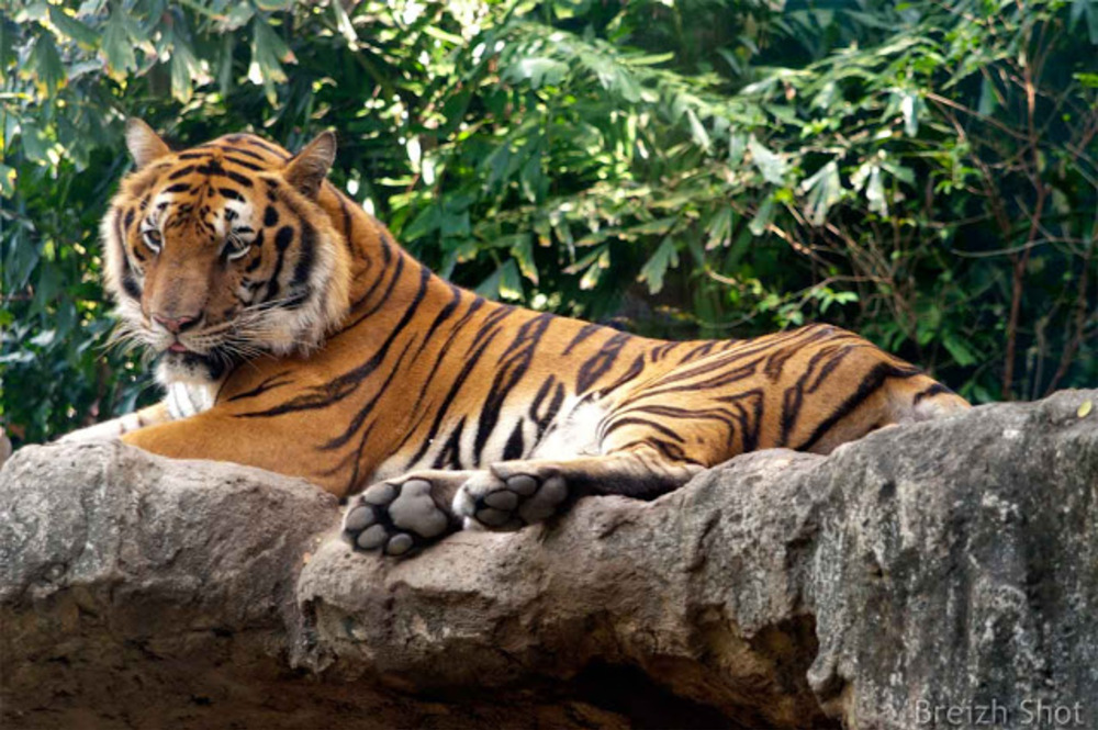 Dusit, un zoo au coeur de Bangkok -  Un tigre