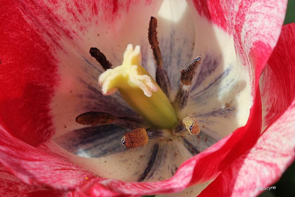 Tulipes à coeur