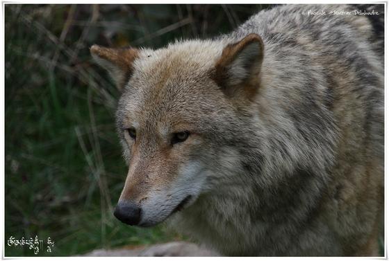 Loup de Mongolie (Canis lupus chanco)