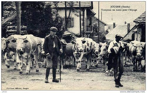 08 - Des vaches en cartes postales