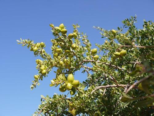 Une belle branche d'arganier