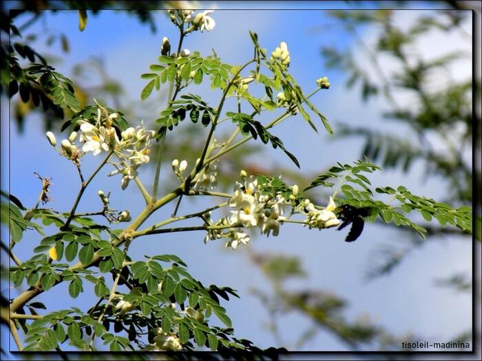 Vonvon ou abeille charpentière