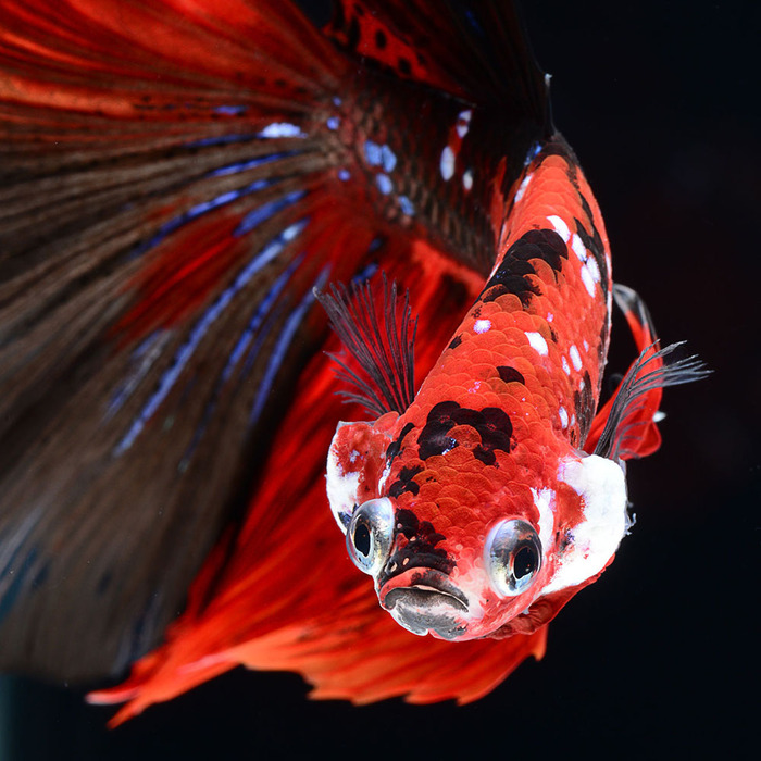 Portraits richement colorés d'élégant poisson rouge chinois par Tsubaki