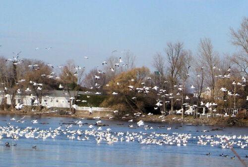 Les oies blanches de Saint-Jean-sur-Richelieu ( Québec )