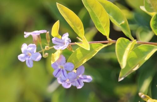 Fleurs de Thaïlande (2)