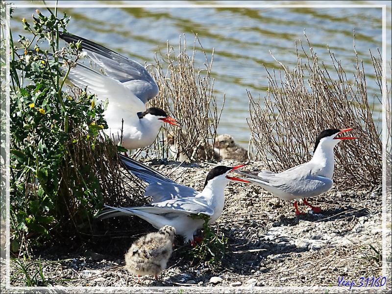 Nourrissage chez les Sternes pierregarins ou Hirondelles de mer ou Estorlets (Sterna hirundo) - La Couarde-sur-Mer - Île de Ré - 17