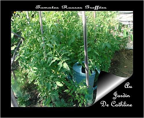 tomates-greffees-russes.jpg