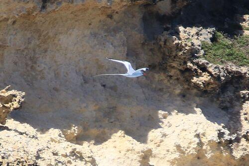 Phaéton à Bec Rouge (Red-billed Tropicbird)
