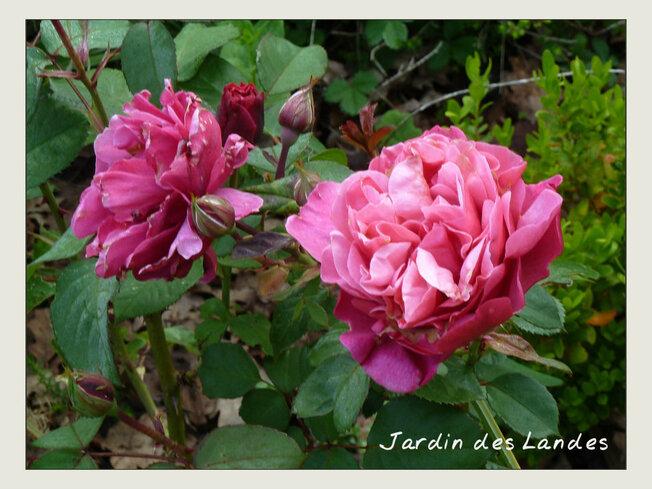Des roses en mai...