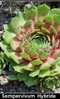 Sempervivum Hybride