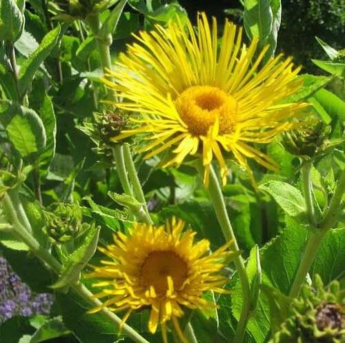 Fleurs cultivées : Grande Aunée