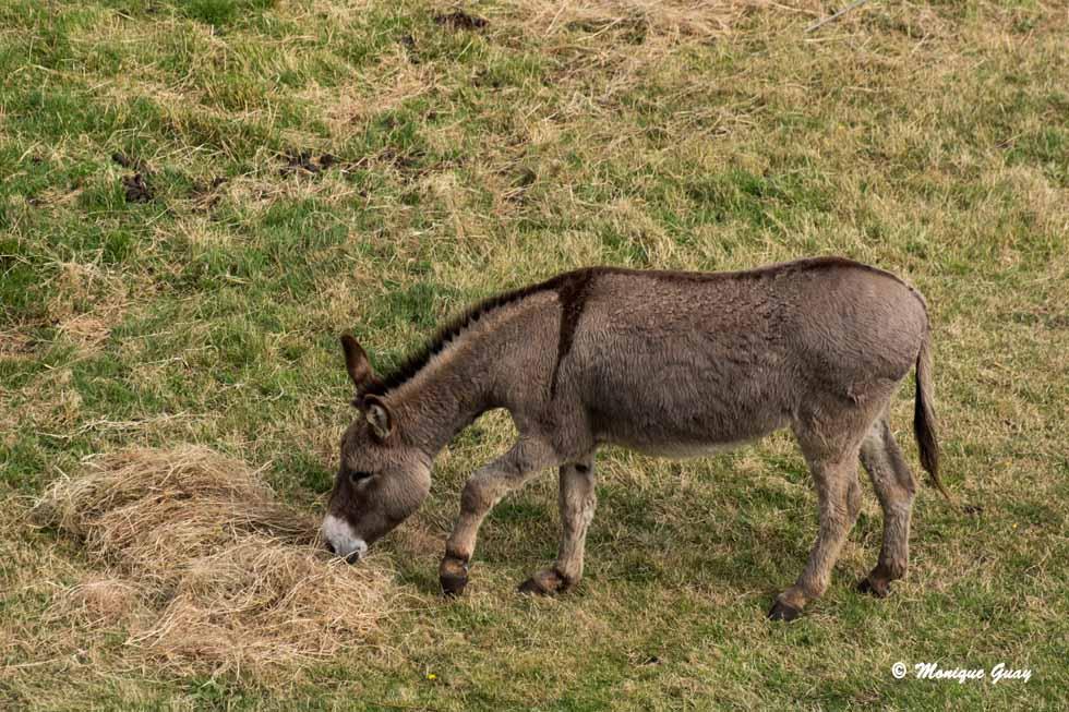 L'âne du Cotentin