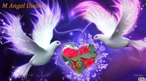 colombe-rose-rose.JPG