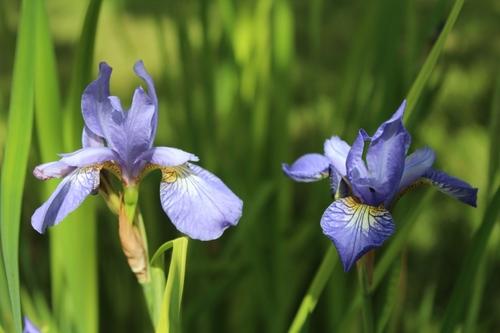 Iris sibirica <3