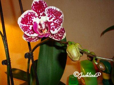 Elle a refleuri...l'orchidée !