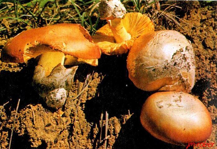 la famille des champignons , les amanites