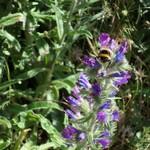 Viperine--Echium-vulgare-Tuchan Mai 2014
