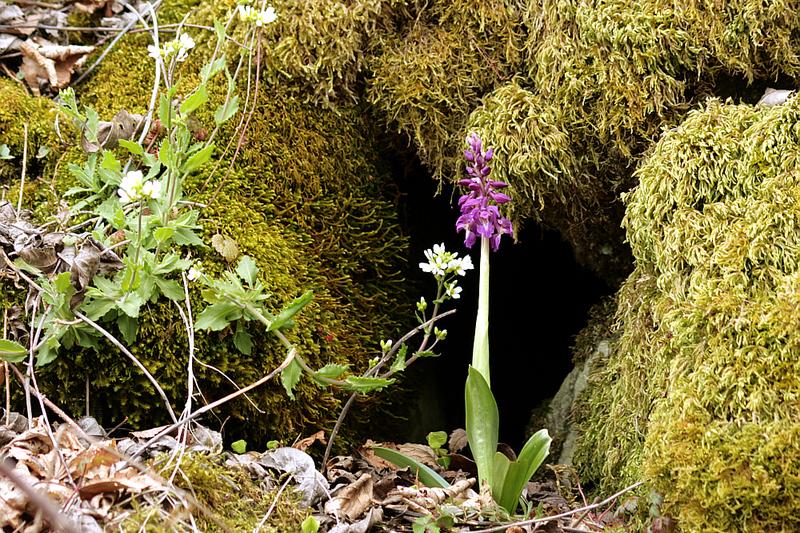 Arabette des Alpes et orchis mâle - Massif du Puech - Couledoux - Boutx - 31  (Flore)
