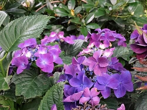 """Une visite au jardin """"Les Hydrangeas"""""""