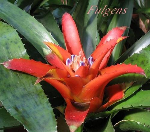 Plantes d 39 int rieur nidularium brom liac es chezmamielucette - Plante a feuilles rouges ...