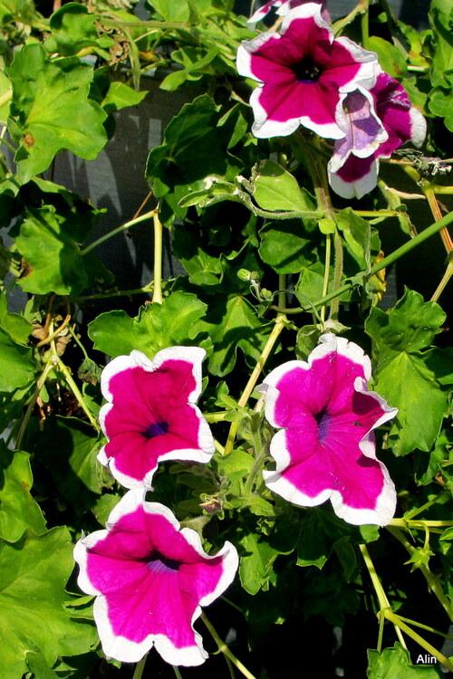 Les fleurs du pétunia