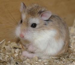 hamster de roborovski velcro