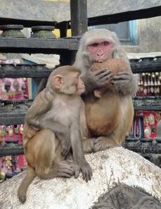 Habitants du temple de Swayambunath