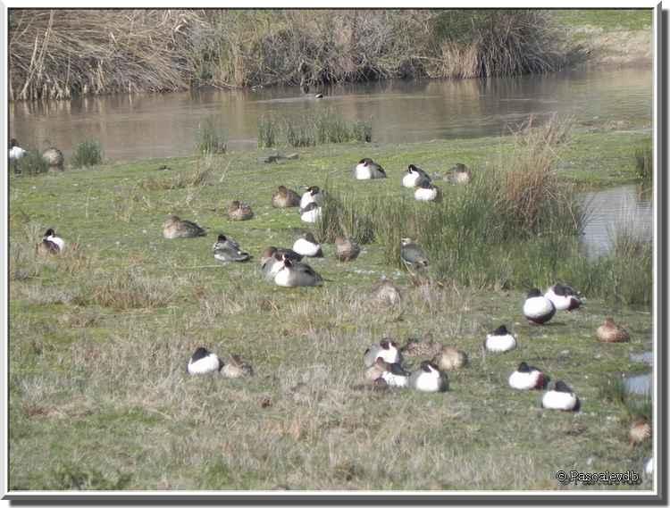 Parc ornithologique du Teich - canard souchet