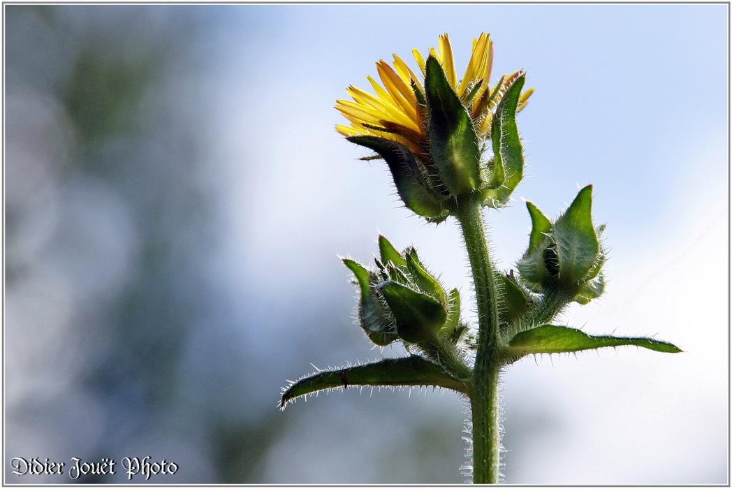 Picris Fausse Vipérine / Picris echioides