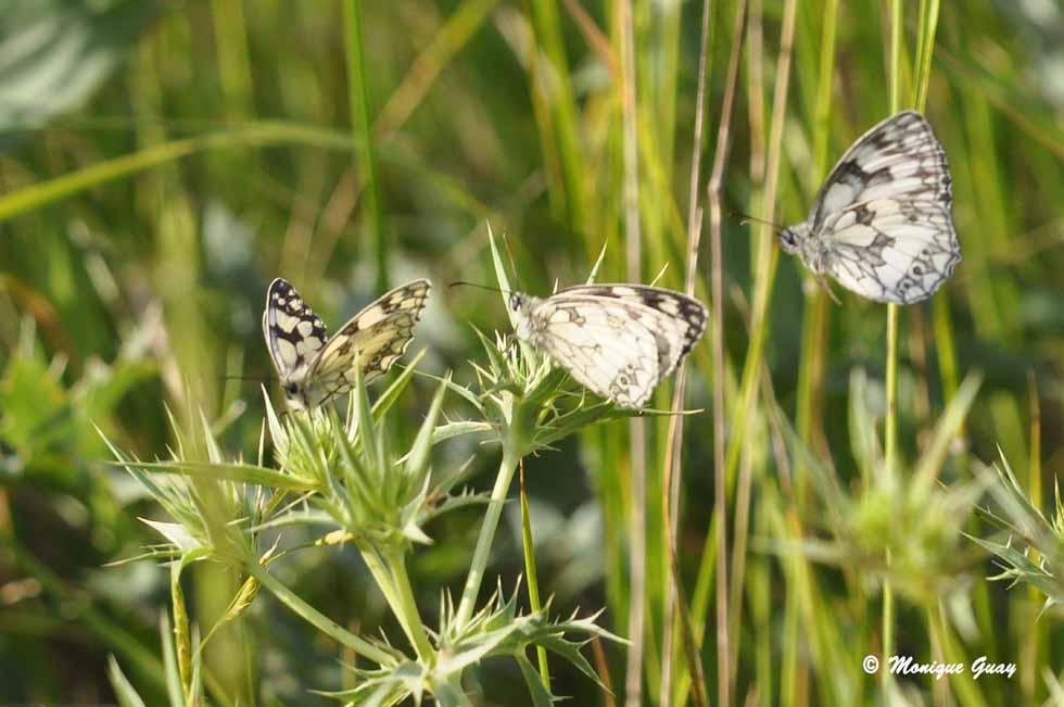 Deux et même trois papillons demi-deuil ensemble