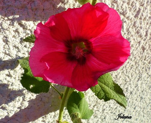 Rose trémière ou Alcea rosea
