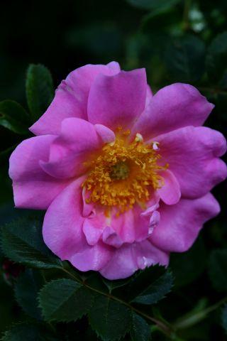Roseraie - Mai (4/4)