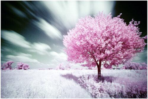 Cerisier (sakura ♥)