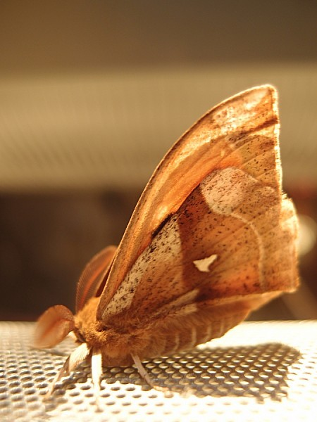 Saturniidae-Agliinae---Aglia-tau-L.---La-Hachette-1.jpg