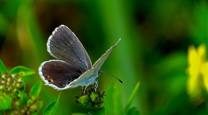 Les Lycaenidae azuré bleu nacré