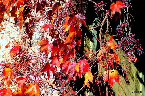 La vigne vierge en automne (1)