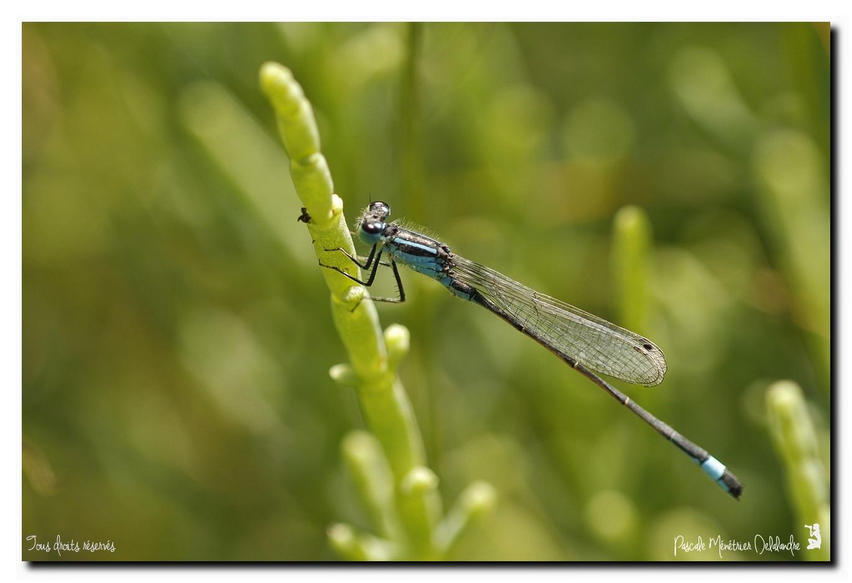 Ischnure élégante  (Ischnura elegans)
