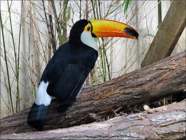 Photo de toucan toco (Zoo du bassin d'Arcachon)